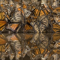 Butterflies, wildebeest and humans
